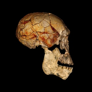 Fossil of Homo Rudolfensis - a member of the human extended family. (Credit: Nature)
