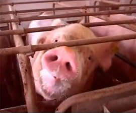 Sows spend much of their serial pregnancies in cramped gestation crates. (Humane Society of the United States)