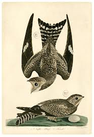 A male nighthawk´s courtship display involves diving from a great height and changing course just before crashing into the ground.  (Image from American Ornithology; or, The Natural History of the Birds of the United States by Alexander Wilson. Philadelphia: Harrison Hall, 1829. Collection of the Wagner Free Institute of Science Library.)