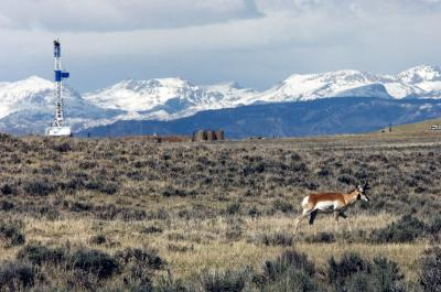 Pronghorn wintering grounds have declined by 85 percent in Wyoming&acute;s two largest gas fields, a new study has found. (Wildlife Conservation Society photo by Julie Larsen Maher) <br />