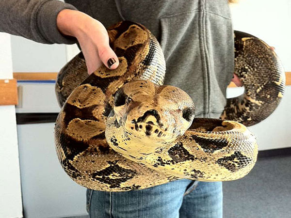 A red tail boa. (File Photo)
