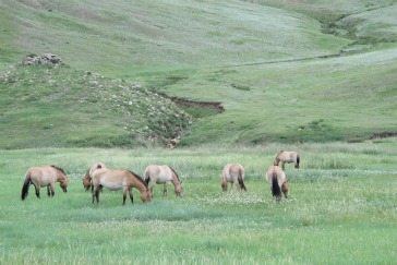 Wild Przewalski Horses grazing at Hustain Nuruu Steppe Reserve. (Photo by Robert Peck)