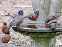 Robins at a bird bath in Florida. (Photo by Bart Greene)