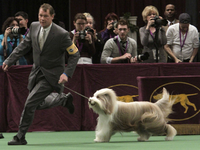 South Jersey-raised Mister Baggins, usually called Roy, will be in the finals of the Westminster Dog Show on the USA Network on Feb. 15, 2011. (Mary Altaffer / Associated Press)