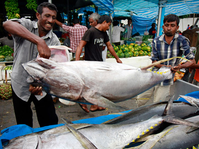 Fishermen loading yellowfin tuna , also called ahi, into a lorry in Male, Maldives. Yellowfin, a small, fast-growing variety of tuna, is commonly used as a tuna steak and can be found in sushi restaurants. This species, and others, are overfished. (SINAN HUSSAIN / Associated Press)
