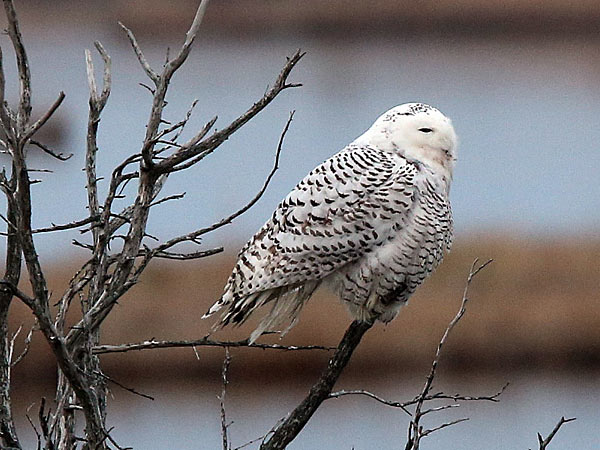 This photo shows a snowy owl at the Edwin B Forsythe National Wildlife Refuge, in Galloway Township, N.J., on Wednesday Dec. 4, 2013. Birdwatchers traveled from all over to see the owl Wednesday. (AP Photo/The Press of Atlantic City, Vernon Ogrodnek)