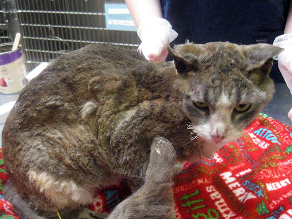 Campbell, a cat that was set on fire. (Photo courtesy SPCA)