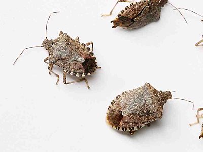 The Asian brown marmorated stinkbug is voracious and hard to eradicate. (Kyle Green/The Roanoke Times)