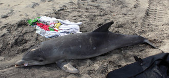 Stranded dolphin in New Jersey. (Marine Mammal Stranding Center photo)<br /><br />