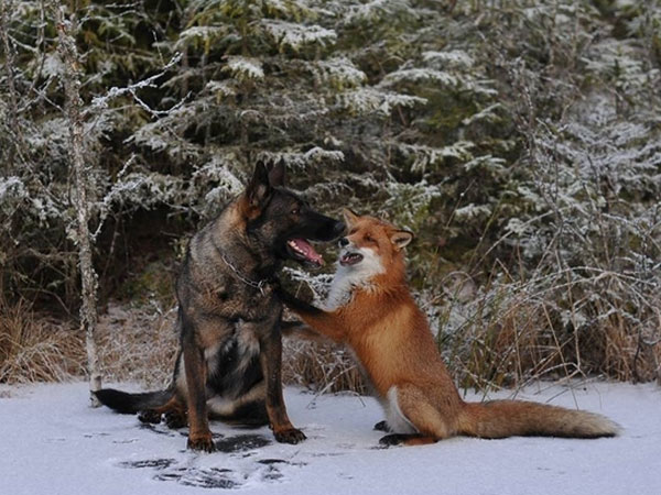 Tinni the dog and Sniffer the fox mug for the camera, looking like a real-life Fox and Hound. (Photo by Torgeir Berge)