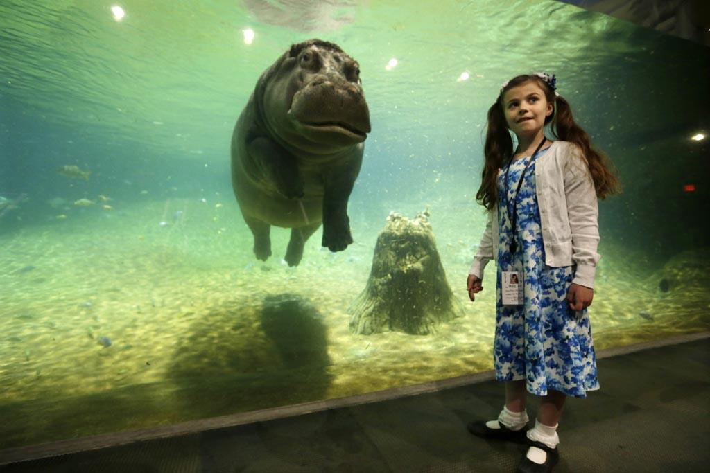 Hippos 39 Haven Gets A Facelift At Adventure Aquarium