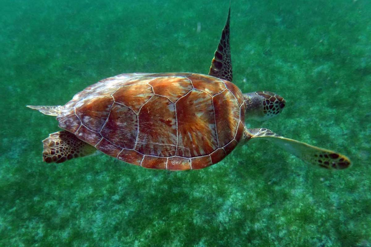 A green sea turtle swimming to graze on sea grass on the island of St. John. <br />