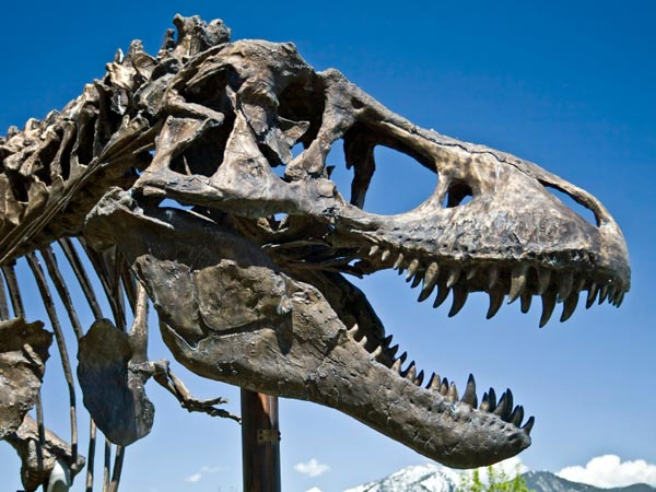 A life-sized Tyrannosaurus Rex Skull cast in Bronze is on display at the Museum of the Rockies in Bozeman, Montana.