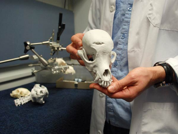 A 3-D printed model of dog Millie´s skull, prepped and ready to examine. Photo from University of Pennsylvania Communications.