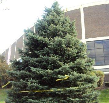 O Christmas tree, still standing outside the Spectrum.