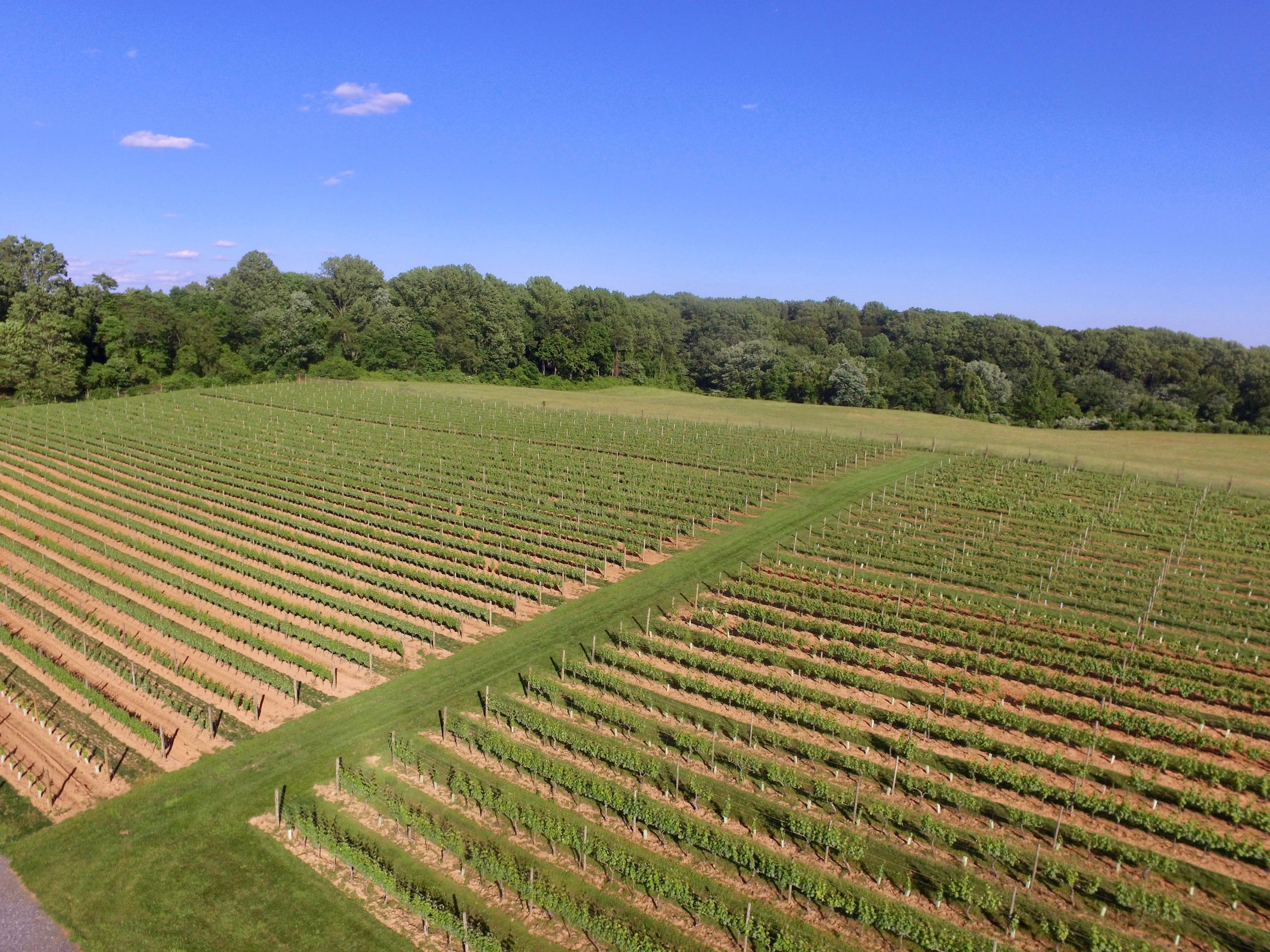 The grape vines at Penns Woods Winery in Chadds Ford, which has produced some very good cab franc wines this year. (Courtesy of Penns Woods Vineyard)